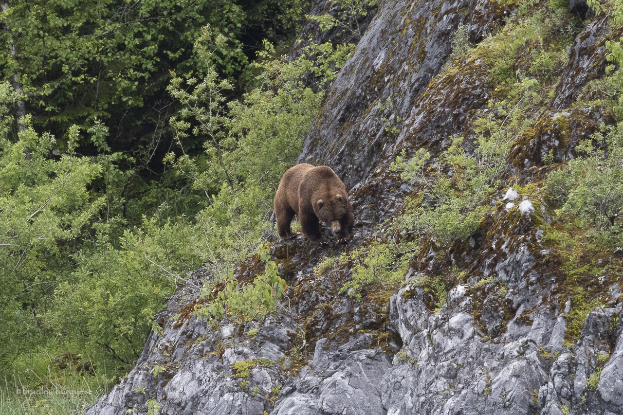 Brown (Grizzly) Bear