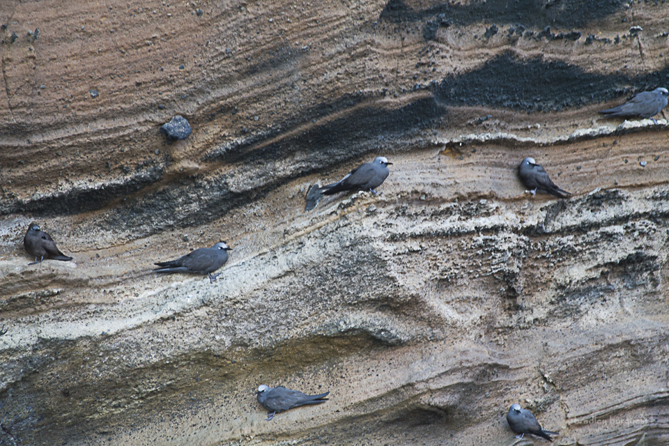 Brown noddies nesting on a cliff face