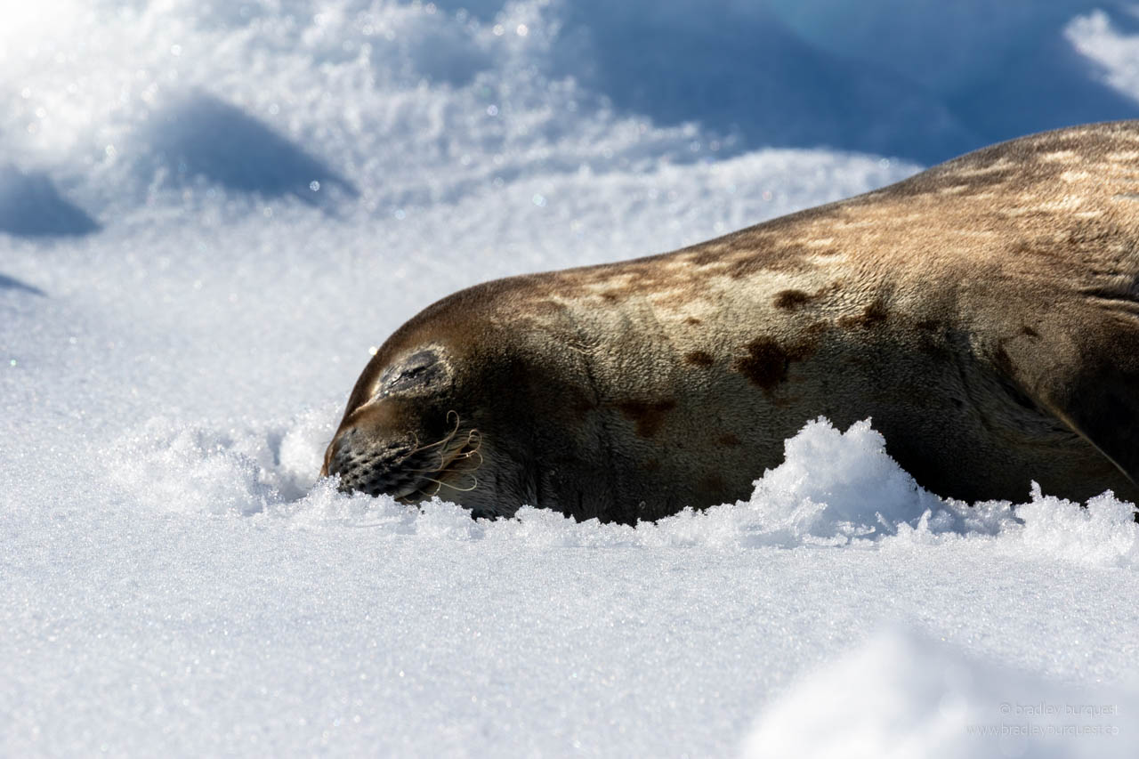 Sleeping Leopard Seal on an iceberg