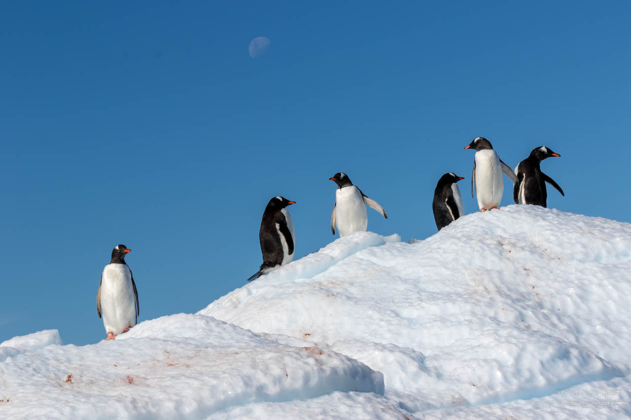 Gentoo Penguins in Lemaire Channel
