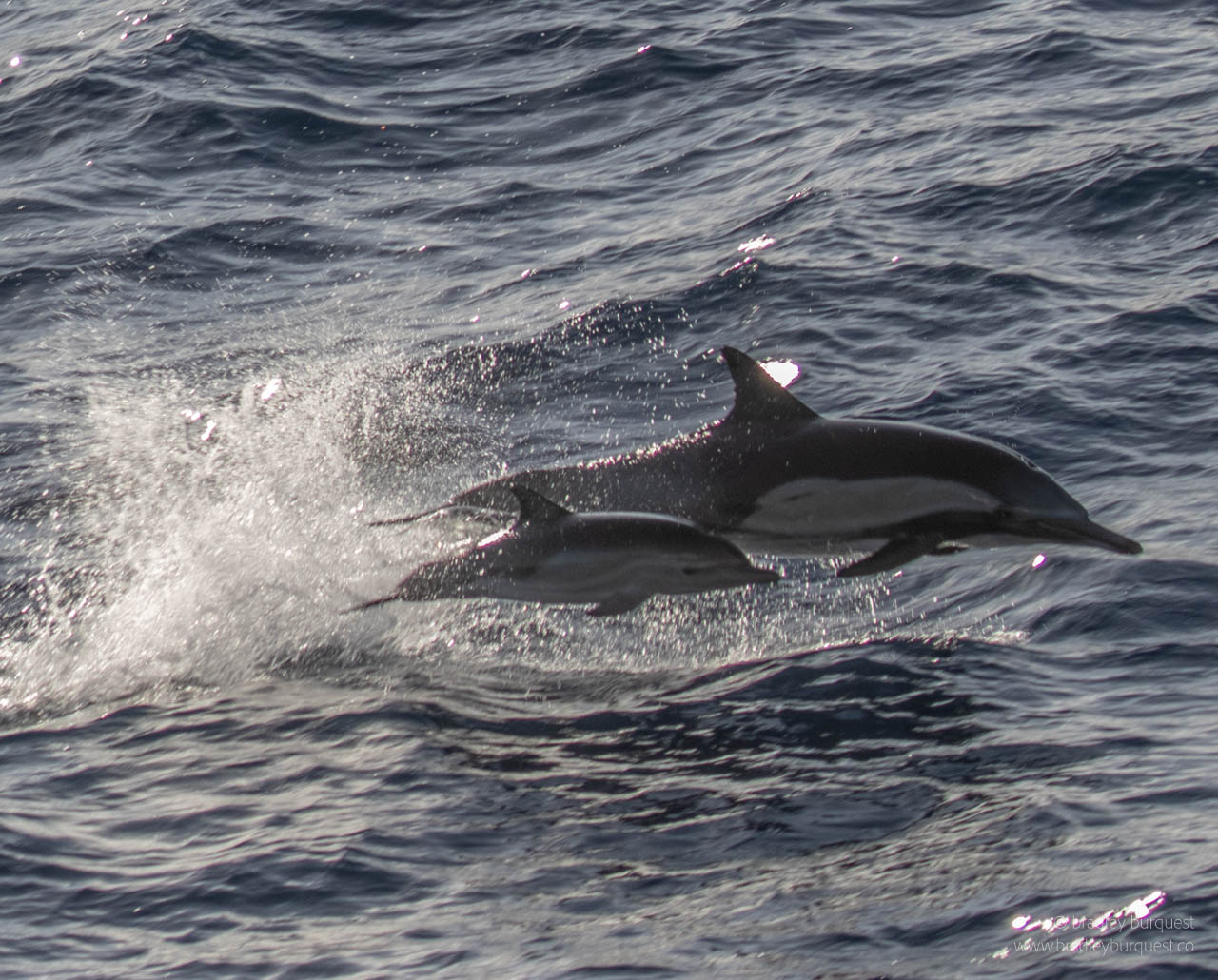 Common Dolphin mother and child