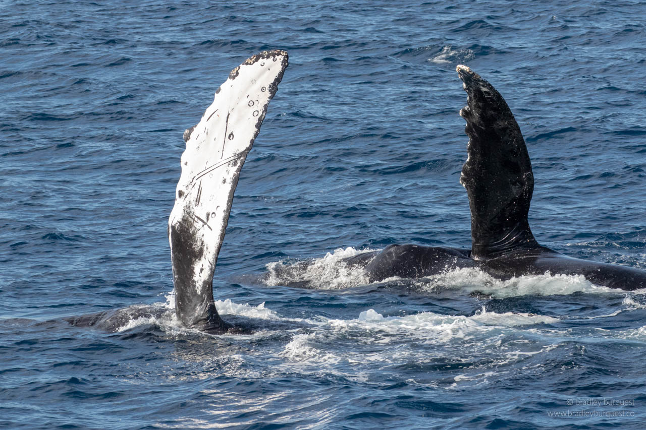 Humpback pectoral fins in the air