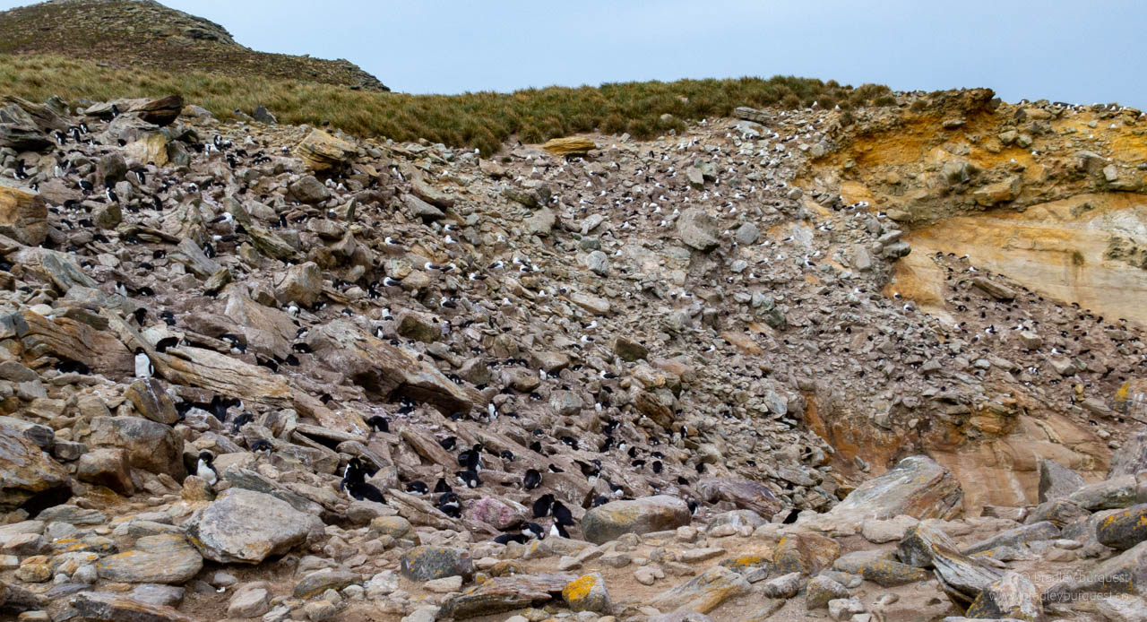 Rock Hopper Penguin nesting site