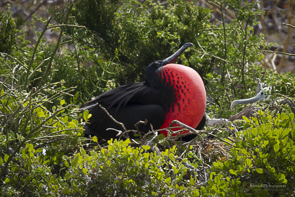 Great Frigate Bird attracting a mate