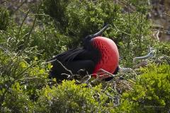 Great Frigate Bird attracting a mate