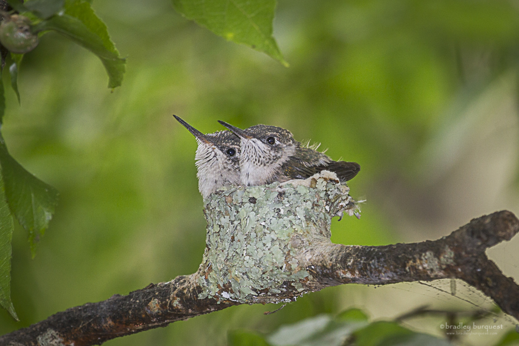 Baby hummingbirds