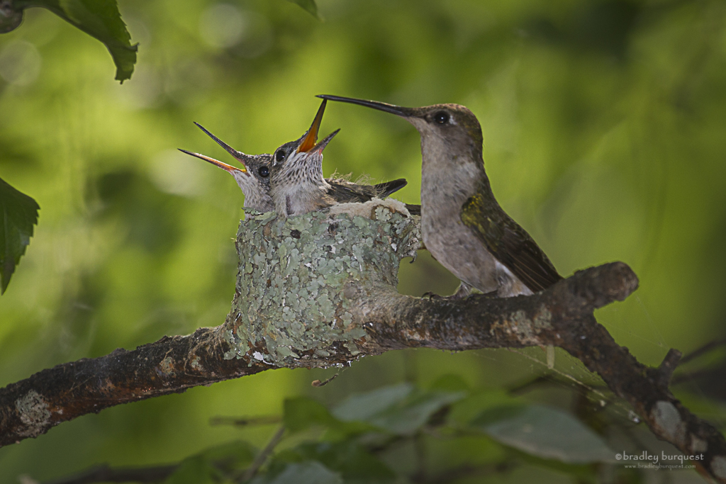 Baby Hummingbirds and mother