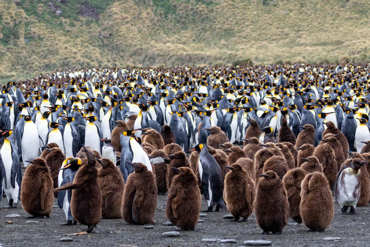 St Andrews Bay King Penguin colony