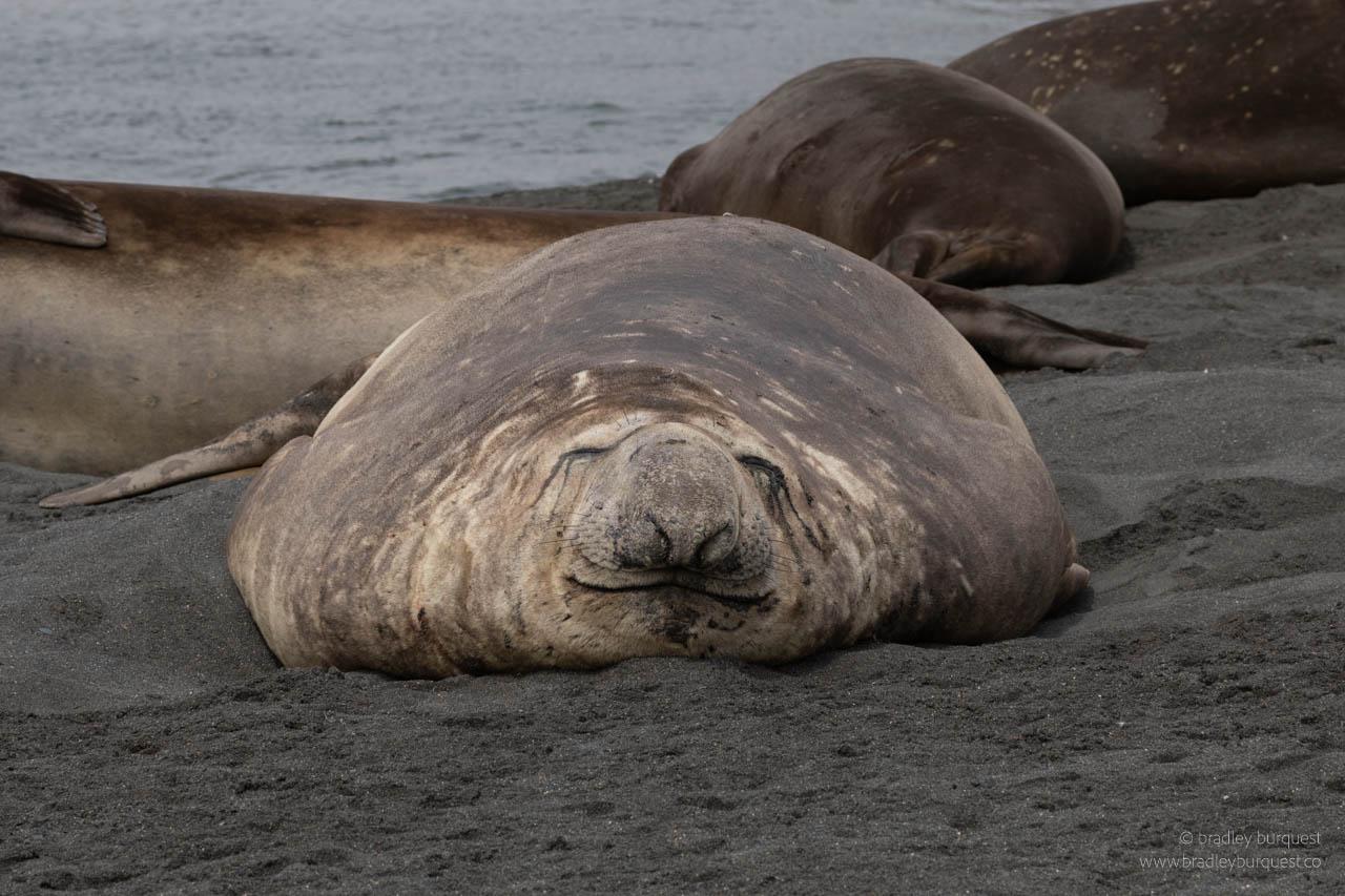 Adult Elephant Seal