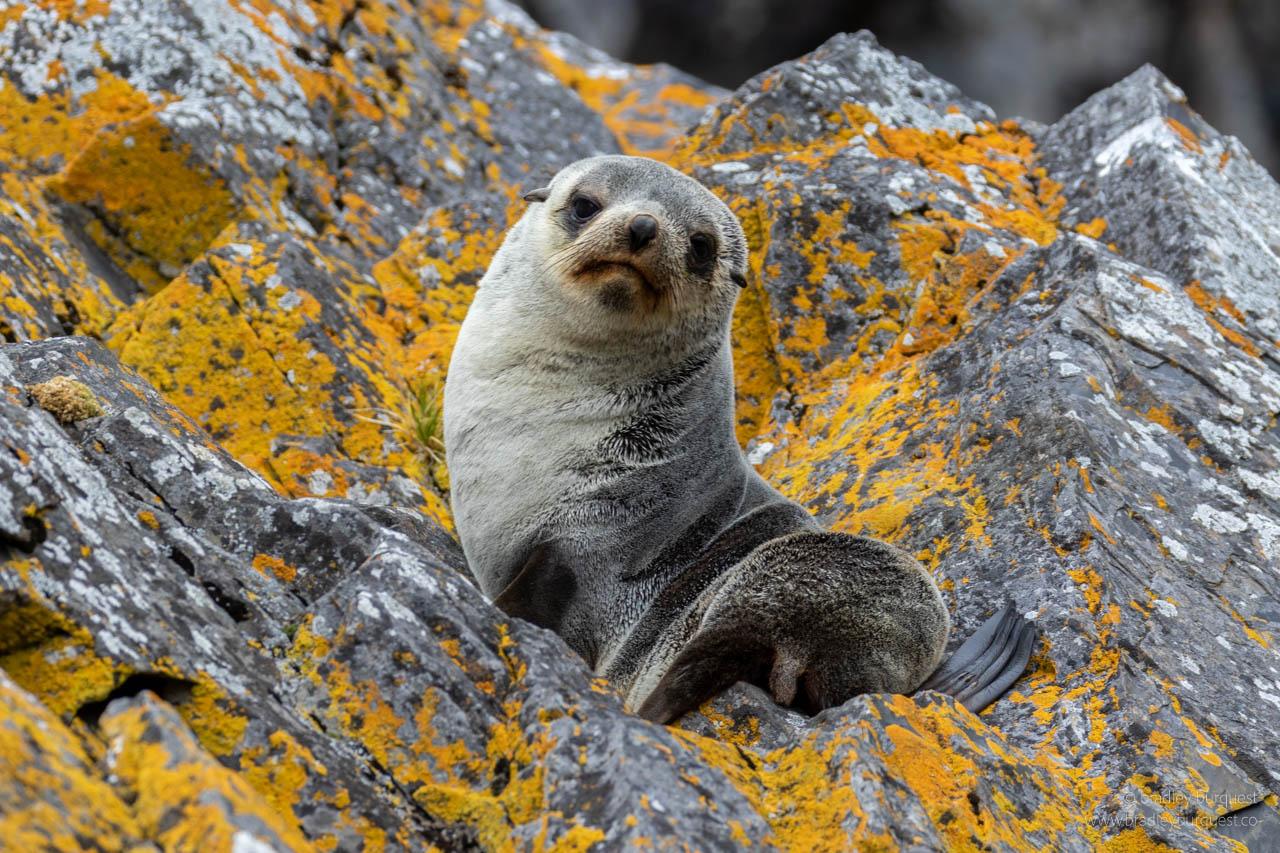 Baby Fir Seal