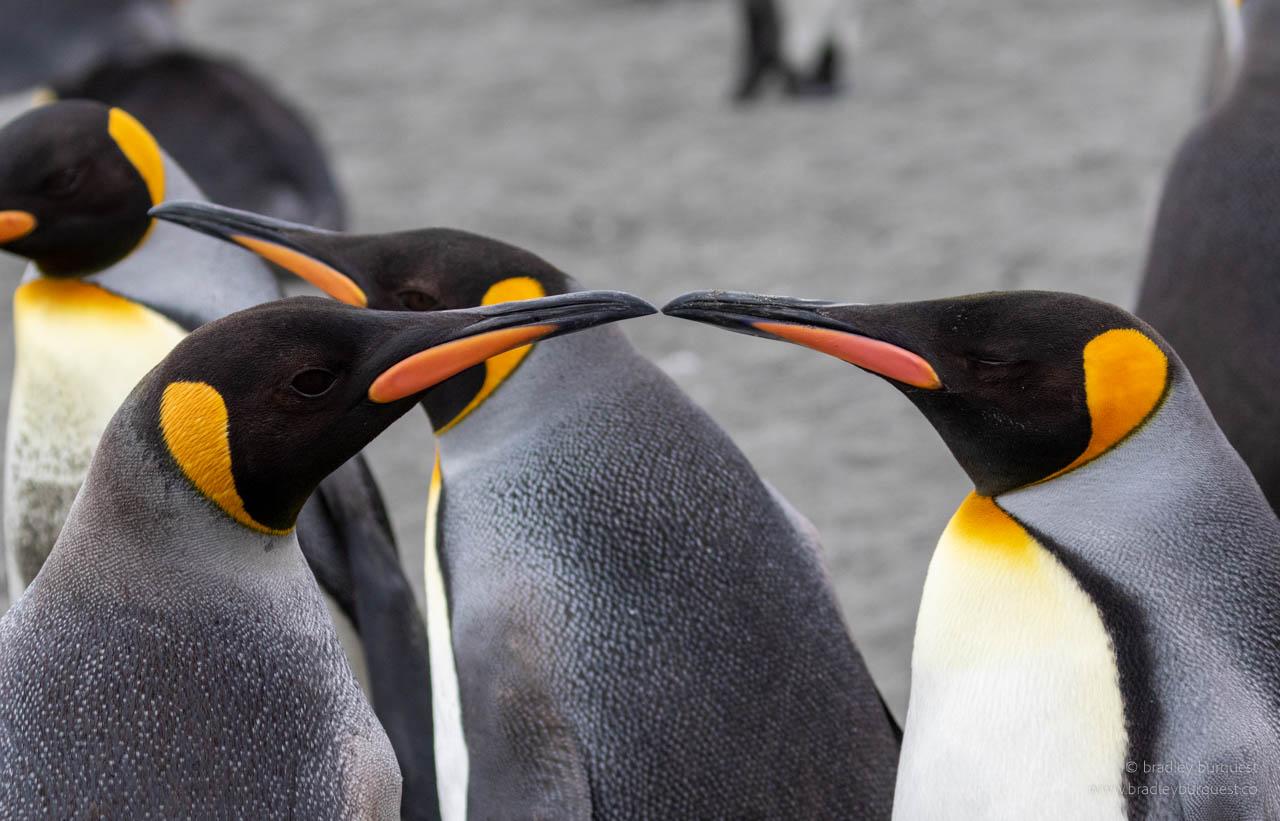 King Penguin mates