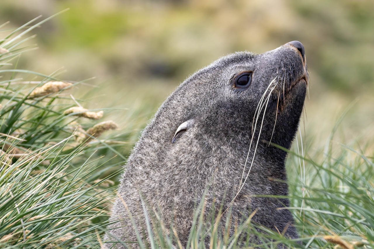 Adult Fir Seal in the Tussic grass